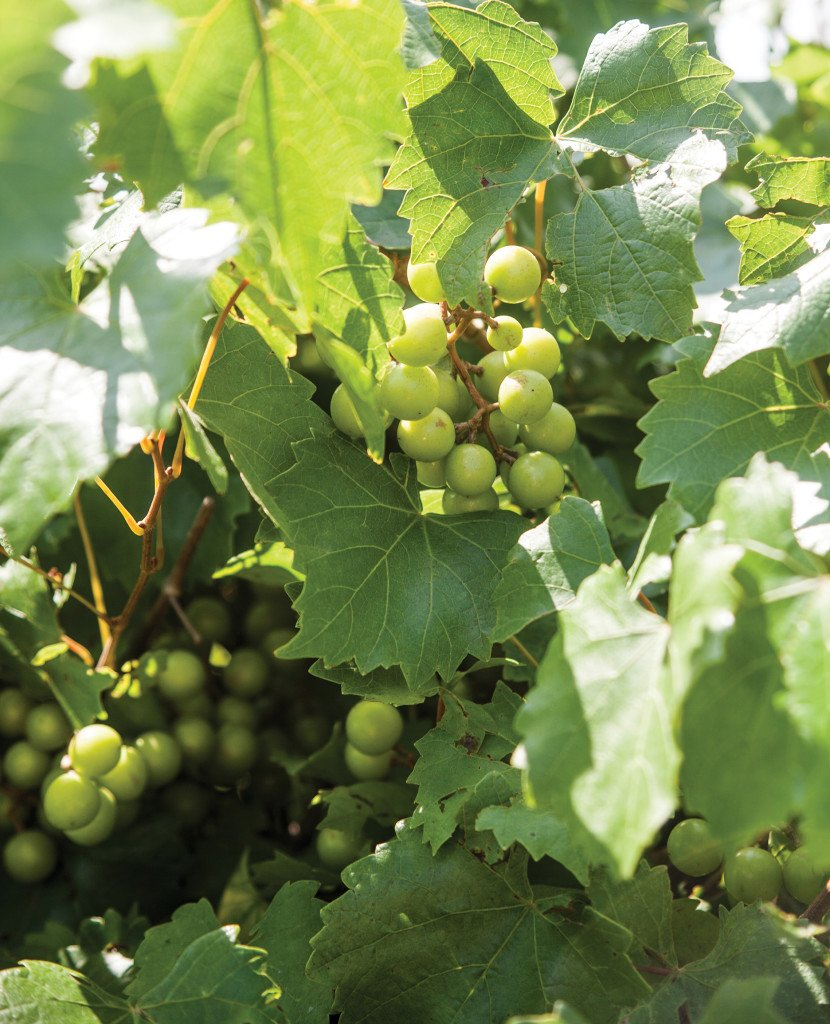 Grape Commodity - Post Familie Vineyards and Winery has about 1,000 acres and grows about 40 types of grapes.
