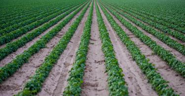 Rows of crops in Arkansas agriculture
